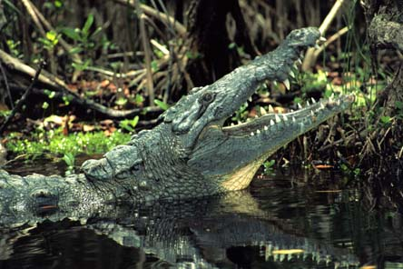 American crocodile pick from: stockpix.com
