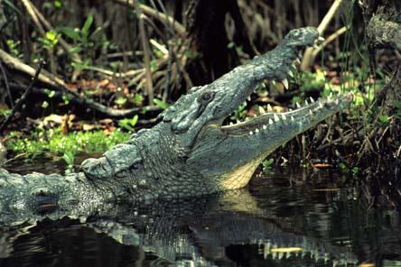 American crocodile pick from: stockpix.com