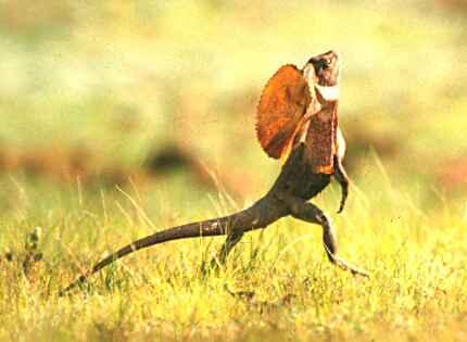 the frilled lizard running
