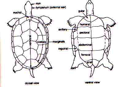 scutes the reptipage the chelonian bodyplan