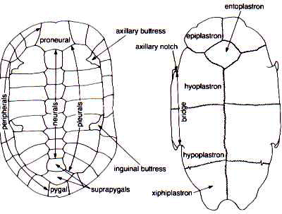 shell the reptipage the chelonian bodyplan