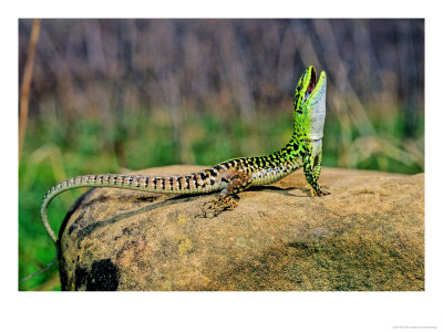 http://reptilis.net/wordpress/wp-content/uploads/2008/04/italian_wall_lizard.jpg