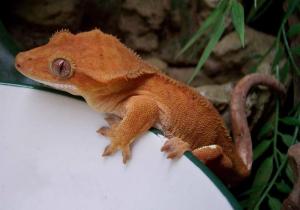 gekkoninae_rhacodactylus_ciliatus_orange