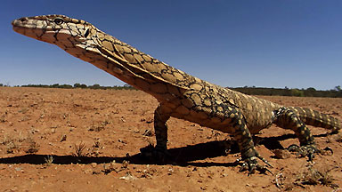 A perentie monitor (_Varanus giganteus_) poses for the camera.