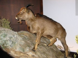 Myotragus balearicus reconstruction.