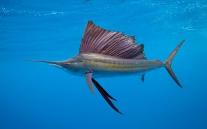 The erectile sail of a sailfish (Istiophorus platypterus) may not be the best analogue to the sails of prehistoric amniotes. Photo by Allistair Pollock.
