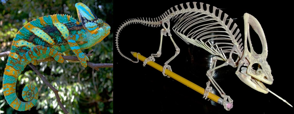 Chamaleleo calyptratus is an example of a reptile with fairly large spinous processes, and a corresponding high back. No sail here. Images by: FL Chams (live animal). Skeleton picture by unknown author (image presence ubiquitous online)