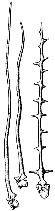 Fig. 6 Dorsal vertebrae of two Dimetrodon species (left) and one Edaphosaurus cruciger (right). Image modified from Figure 2 in Bailey 1997.