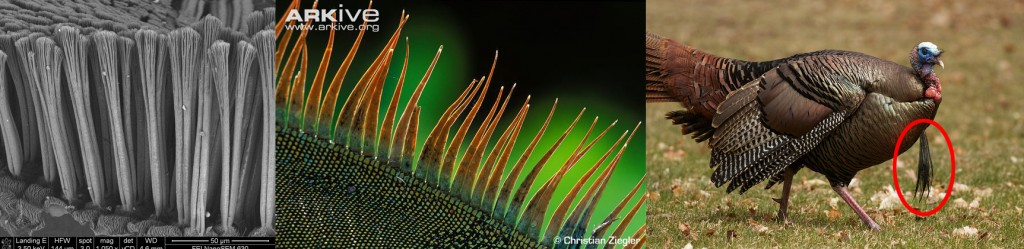 "Examples of non-feathery filamentous (or near so) integument in diapsids. The adhesive setae of geckos (left), the dorsal spines of iguanas (center) and the ""beard"" of turkeys. Gecko image by Danielle Whittaker. Iguana image by: Christian Ziegler. Turkey ""beard"" image by: Arlene Koziol"