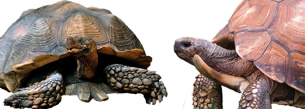 Example of variations seen in the gulars of tortoises. Sulcata tortoises (left) have large, forked gulars similar to M. atlas. Ploughshare tortoises (Right) take gular expansion to a whole other level. Sulcata image by Gregory Moine (Wikipedia). Ploughshare tortoise photo by Berkeley.