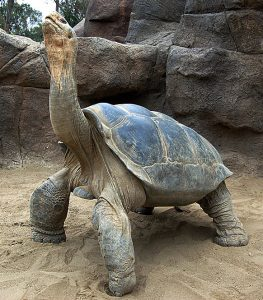 Augustus, a large Galápagos tortoise, displays the finch response. Photo by the San Diego Zoo