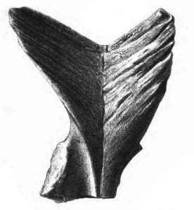 The large, forked epiplastron of M. atlas (drawn by Dinkel in Murchison 1868).
