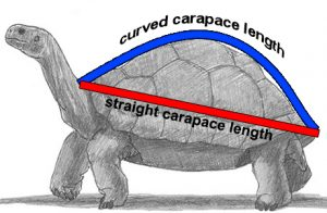 Straight carapace length vs. Curved carapace length. Drawing from How2DrawAnimals.com