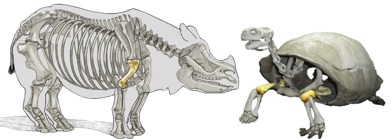 Indian rhinoceros and Galápagos tortoise skeletons with humeri highlighted. Rhino photo by Gregg Hierholzer. Galápagos tortoise photo by Mike Gonzalez (Wikipedia)