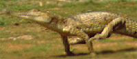 This is a galloping _Crocodylus johnsoni_