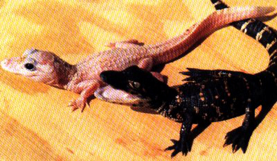 Baby alligators pic from REPTILES mag. December 94. Author unknown.