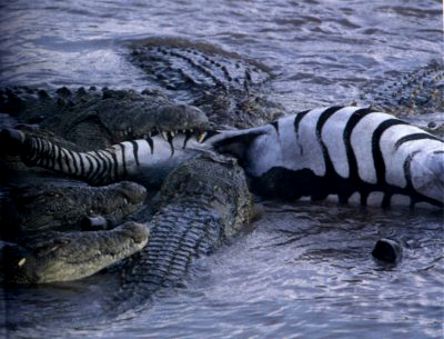 group of alligators eating a zebra