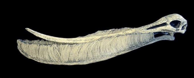 Pterodaustro skull