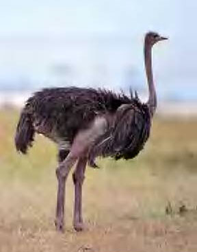 Ostrich pic from: T-Rat's Dinosaur Pages. Click to visit.