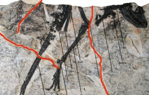Main slab for _Tianyulong_ with highlights showing the breakage in the slab