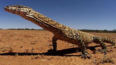 A perentie monitor (_Varanus giganteus_) poses for the camera.