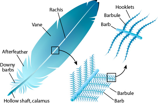 The anatomy of a feather. Image from: