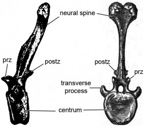 Estimated 10th proximal caudal vertebra in lateral and rostral views. Modified from Gilmore 1914