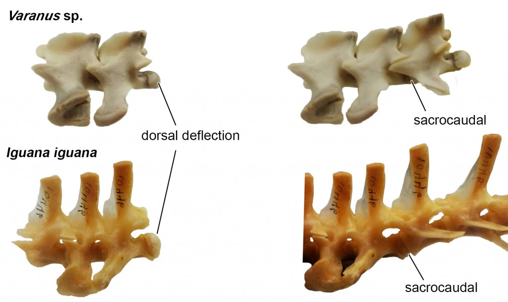 Dorsal deflection of the sacrocaudal joint in Varanus and Iguana. Left: First and second sacral vert (pelvis removed for clarity). Right: First (or more) caudal(s) showing dorsal deflection of the tail.